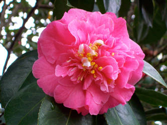 Pink Camellia by Applemac12