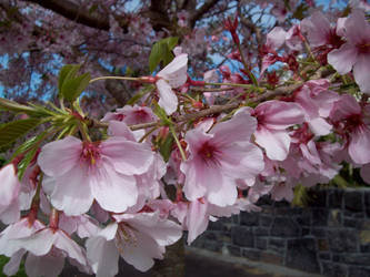 More Cherry Blossoms 2 by Applemac12