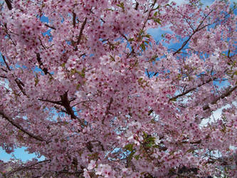 More Cherry Blossoms 3 by Applemac12