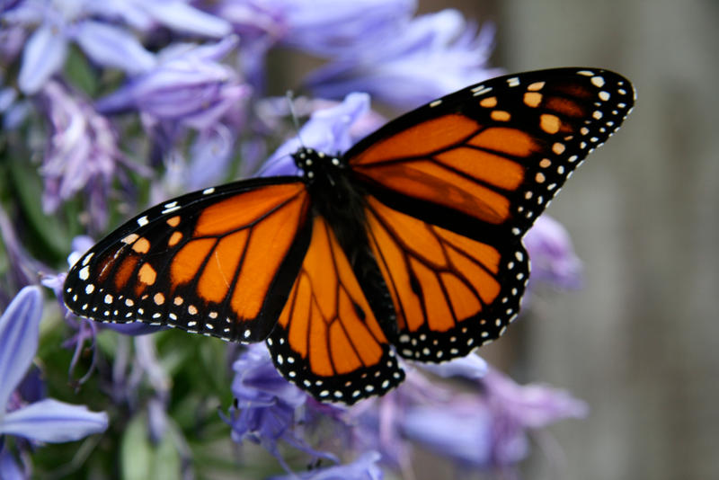 Monarch 1 by Applemac12