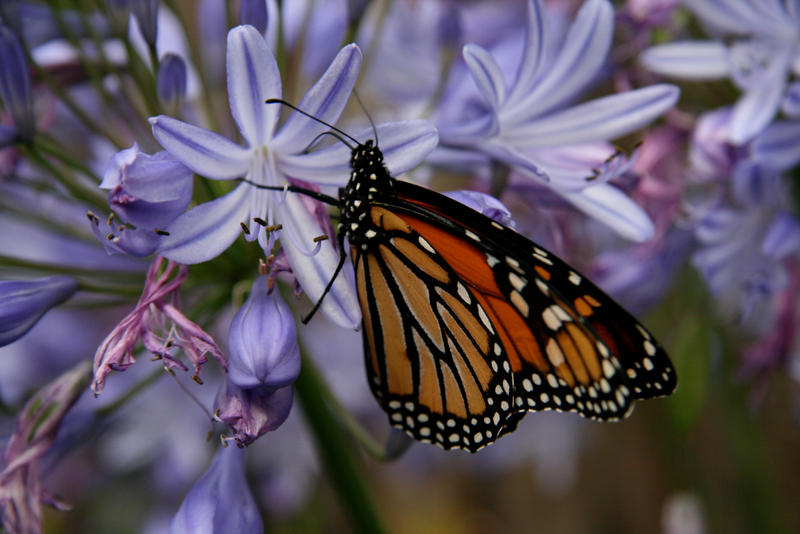 Monarch 2 by Applemac12