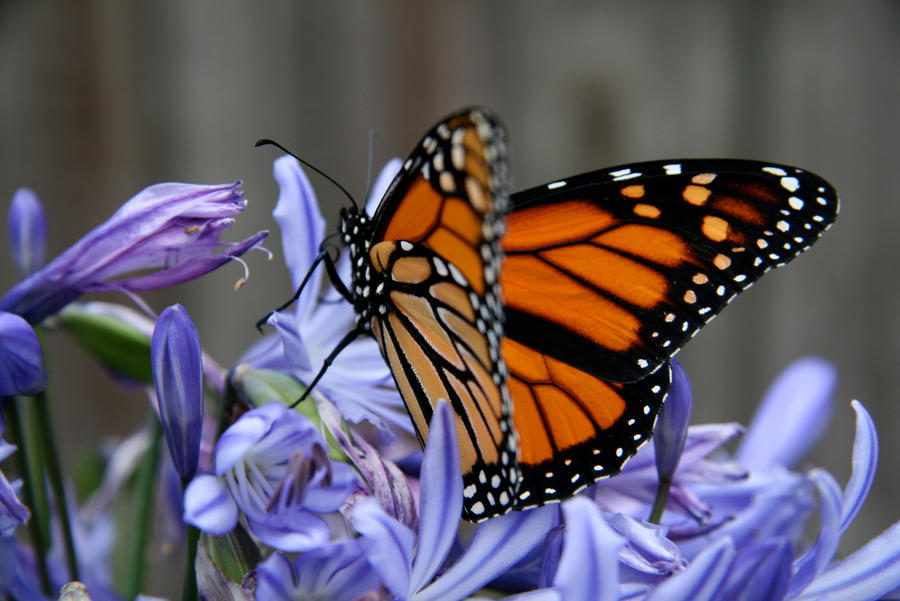 Monarch 3 by Applemac12