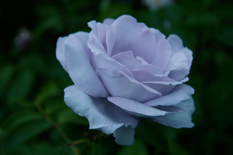 Blues Blue Rose by Applemac12