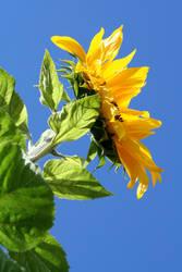 Sunflower by SuperSilkie