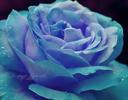 my wonder rose by antoinette-yani