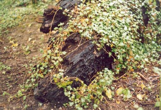 Log and ivy