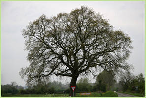 Landmark Oak by AranwA-Tari