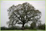 Landmark Oak