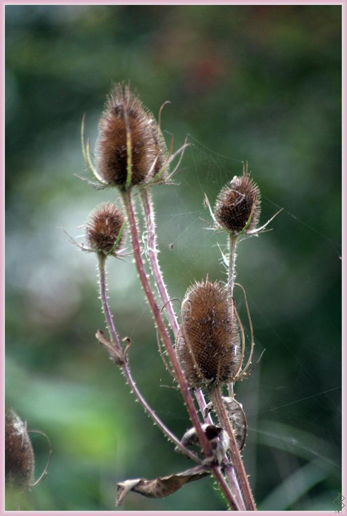 Wild Teasels by AranwA-Tari