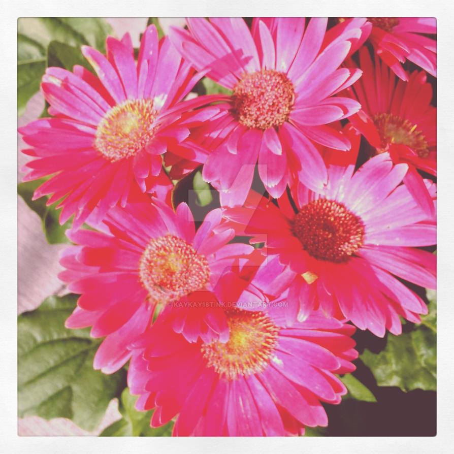pink daisies by kaykay18tink