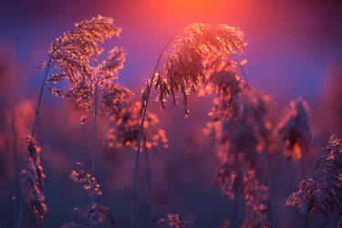 Sunset reeds by Sara-Roth