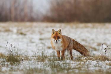 Winter fox by Holasek