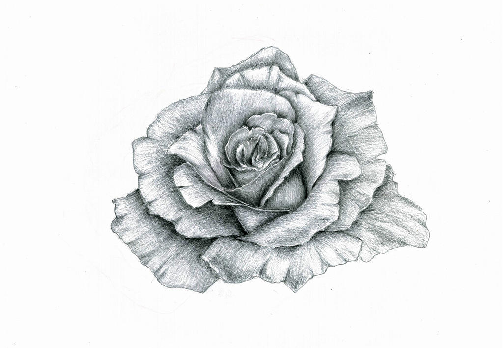 Rose by Andrew-AR