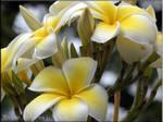 Plumeria Petals