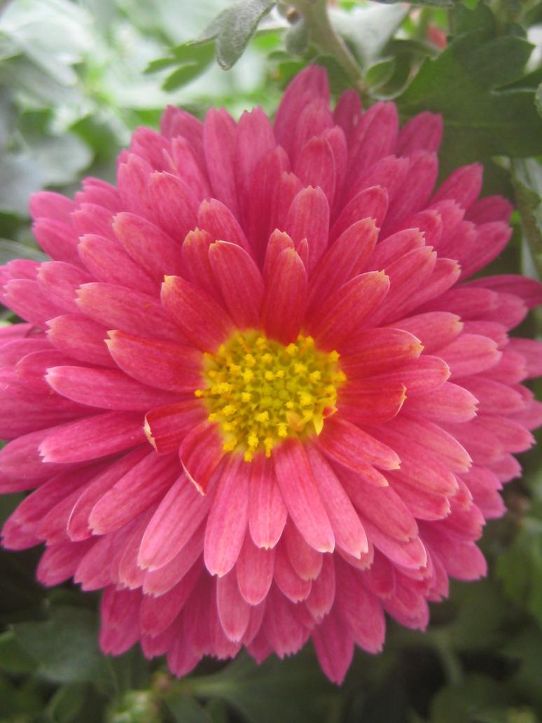 Rosa Geranium Chrysantenum by Miumy96