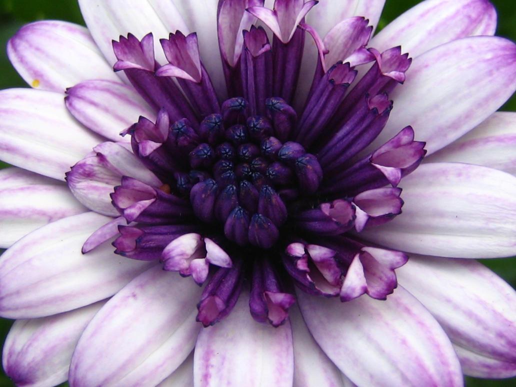 Purple Wonder by Miumy96