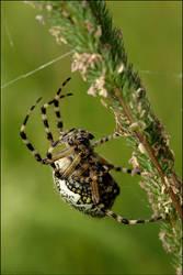 Araneus diadematus by Irrence