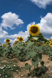 sunflower by S7ich