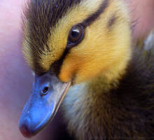 Eye Of The Duckling by dramaticpeanut