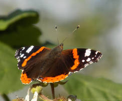 The Red Admiral by dramaticpeanut