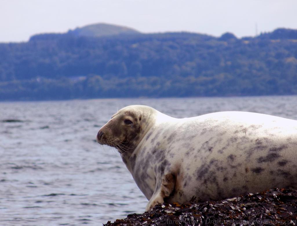 Grey Seal by dramaticpeanut