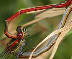 mating pair by macrojunkie