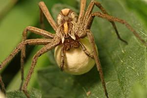 nursery spider and her egg by macrojunkie