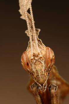 adult Phyllocrania paradoxa by macrojunkie