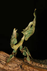 female Phyllocrania paradoxa 2 by macrojunkie