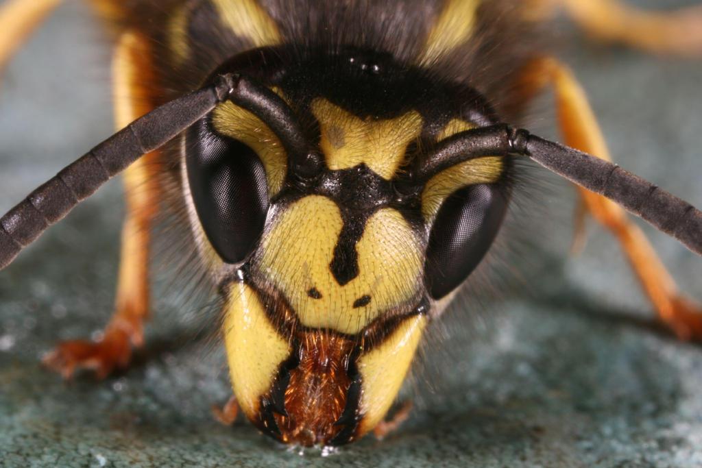 wasp face 2 by macrojunkie on DeviantArt