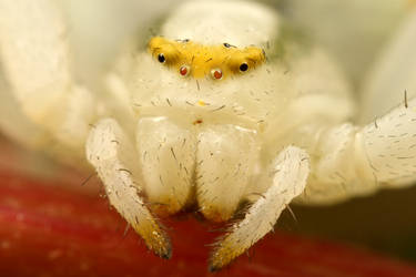 White crab spider at 5X by macrojunkie