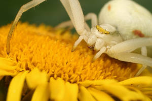 Crab on a yellow flower by macrojunkie