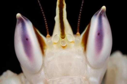 mega close up - orchid mantis