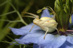 White crab spider-1 by macrojunkie