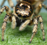 uk jumping spider -  crop