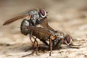 flys mating by macrojunkie