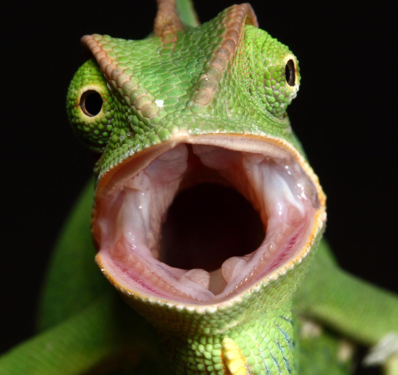 Male Veiled Chameleon yemen