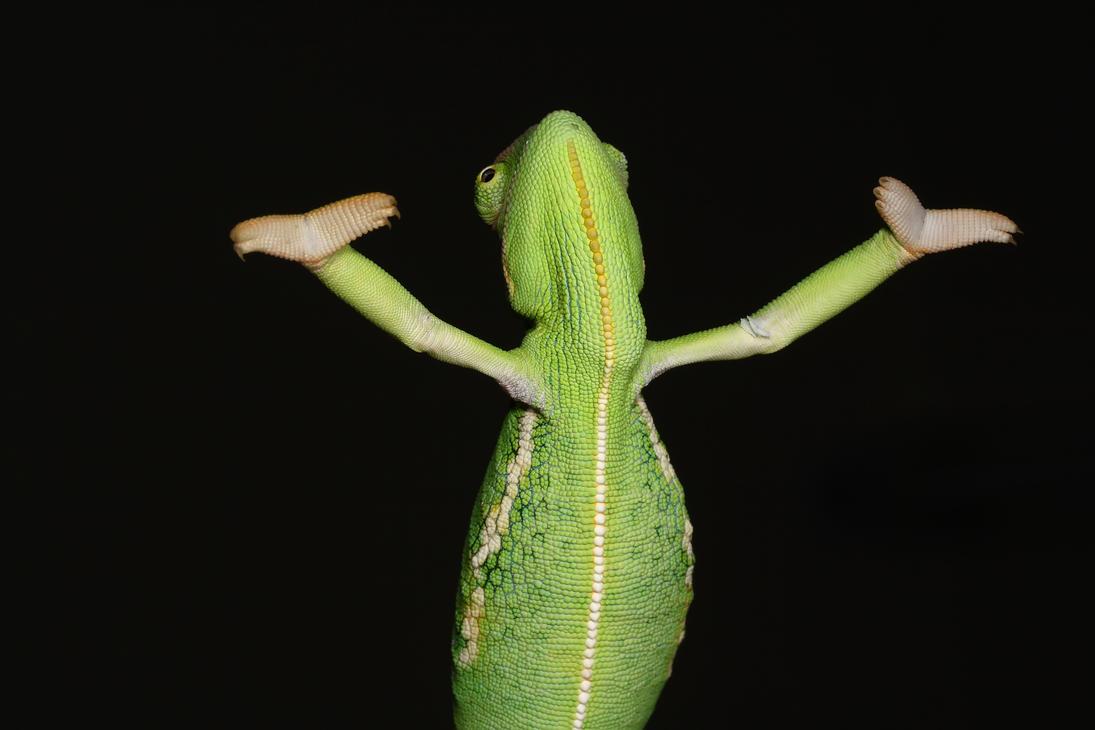 Veiled Chameleon yemen 2 by macrojunkie