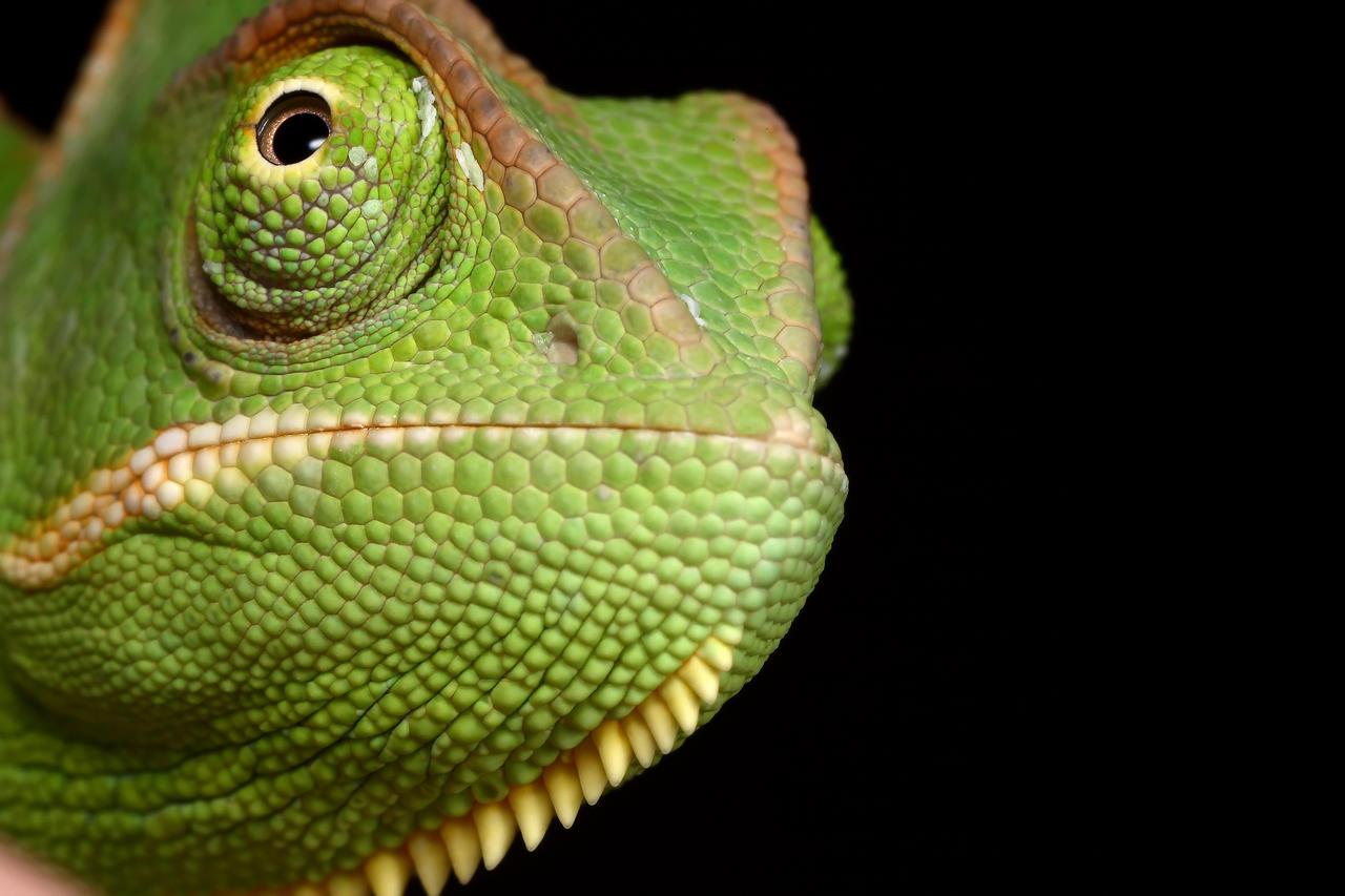 Veiled Chameleon yemen 4 by macrojunkie