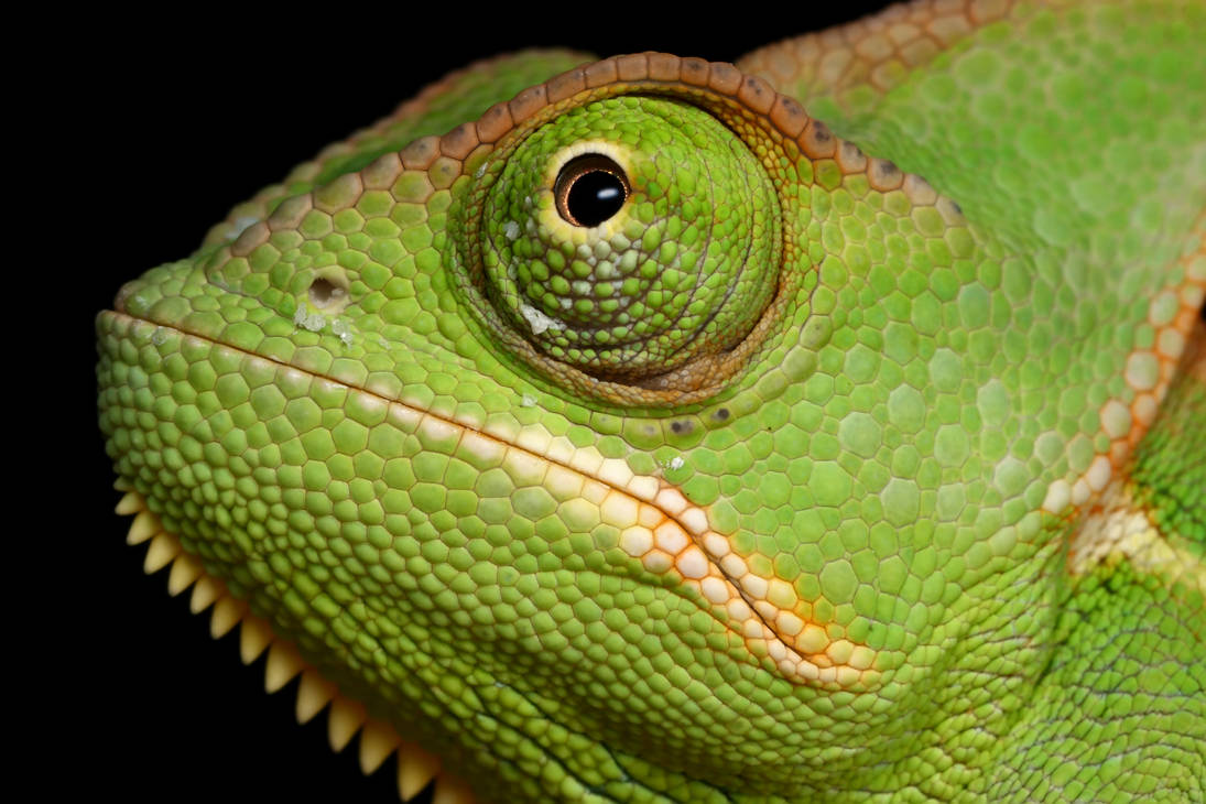 Veiled Chameleon yemen 5 by macrojunkie on DeviantArt