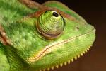 Veiled Chameleon yemen 6
