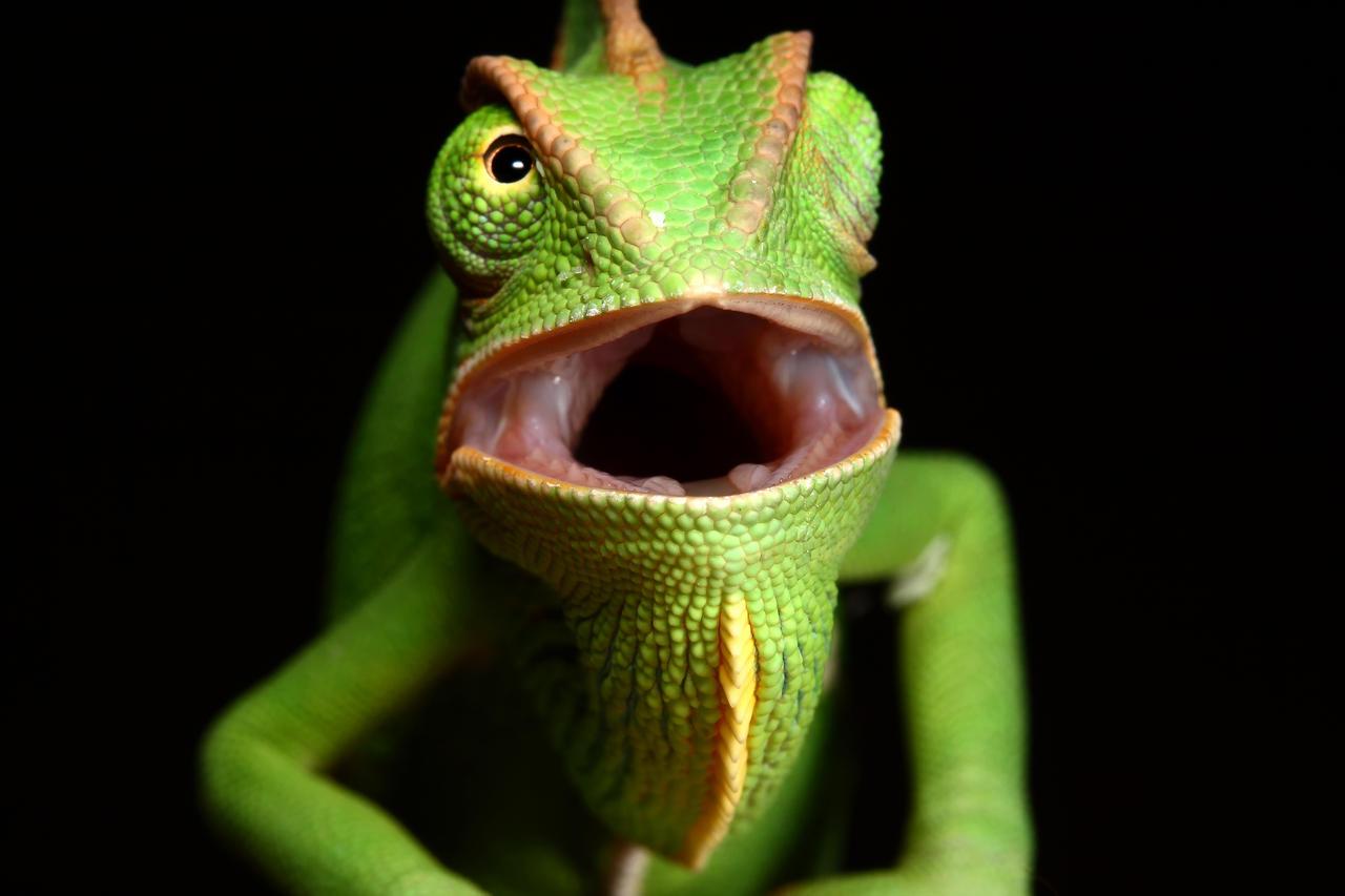 yemen chameleon 'GRRRR' by macrojunkie