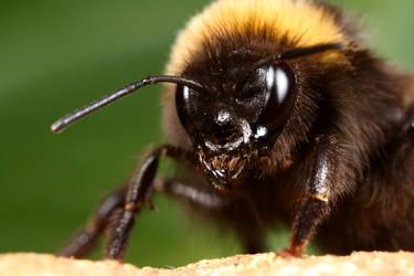 Bumble bee 2 by macrojunkie