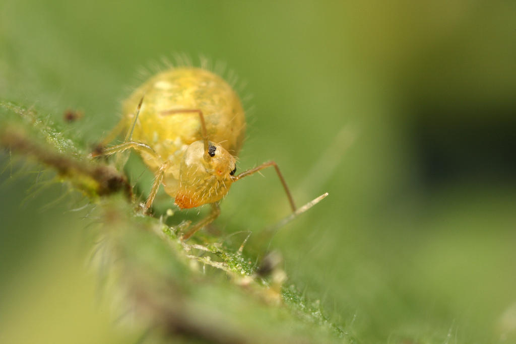 Globular Springtail By Macrojunkie