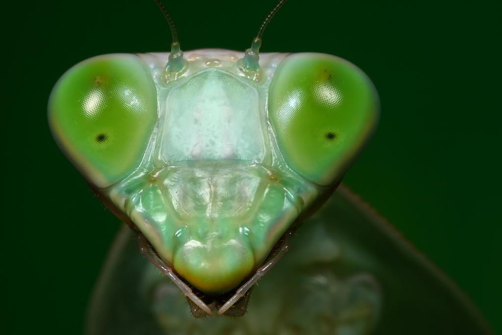 shield mantis 2