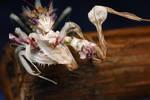 Wahlbergii flowermantis 07