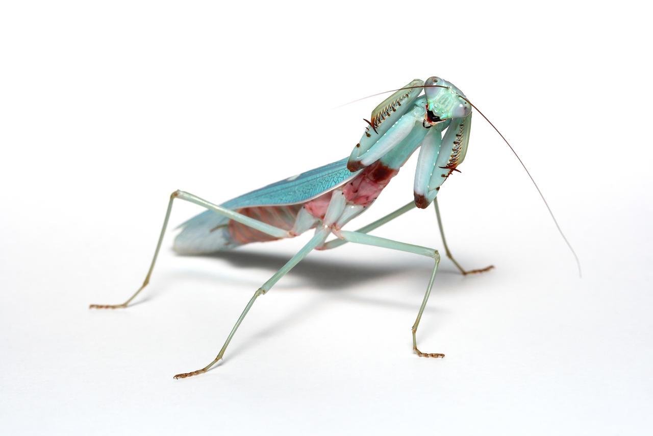 Threat pose jade mantis male
