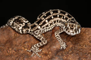 viper gecko 2 by macrojunkie