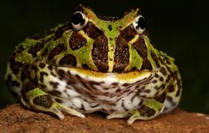 pacman frog by macrojunkie