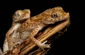 dwarf gecko male and female by macrojunkie